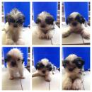 Quality purebreed shih tzu puppies no papers bacoor